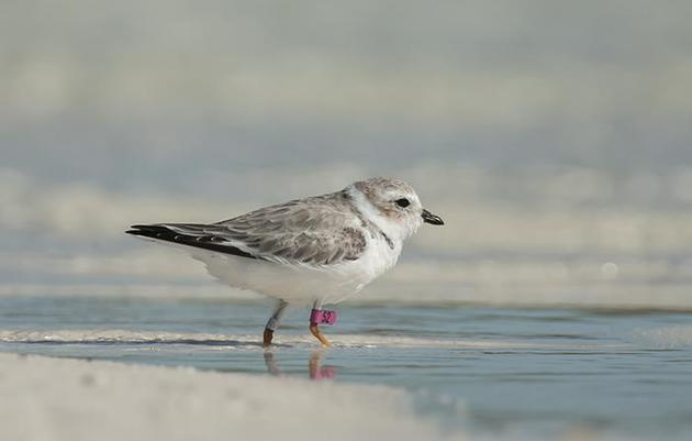 Help Audubon Track Pink-Banded Piping Plovers