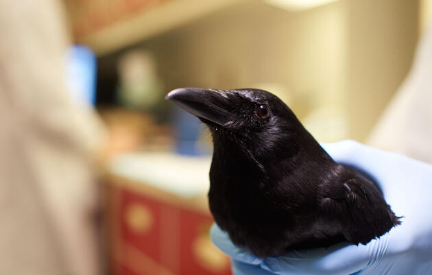 Meet the Bird Brainiacs: American Crow