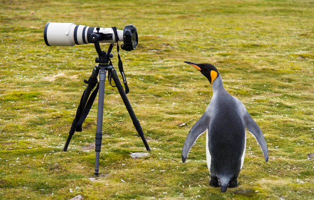 """This adult King Penguin probably needs to get a taller tripod. <a href=""""http://www.lanting.com/"""">Frans Lanting </a>"""