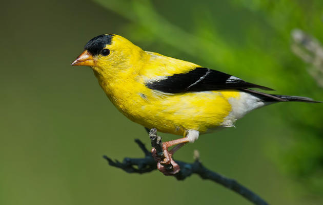 Birdist Rule #97: Get to Know Your Goldfinches