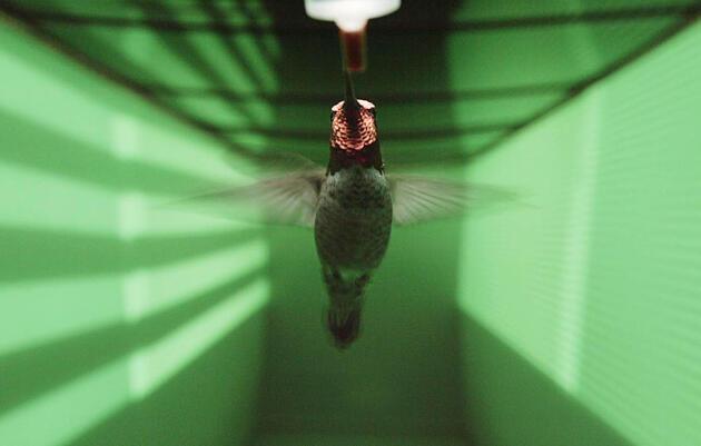 Los colibríes pueden volar sin chocar, ¿pero cómo lo hacen?