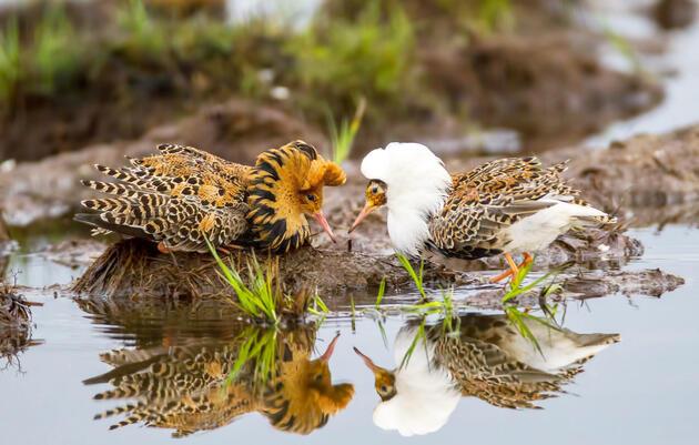 Ruffs. Sunil Gopalan/Audubon Photography Awards