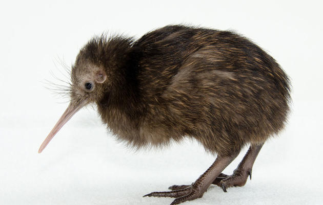 How Baby Kiwis in Virginia Will Help Preserve an Ancient Maori Tradition