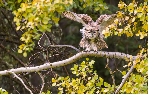 How Well Do You Know Your U.S. Owls?