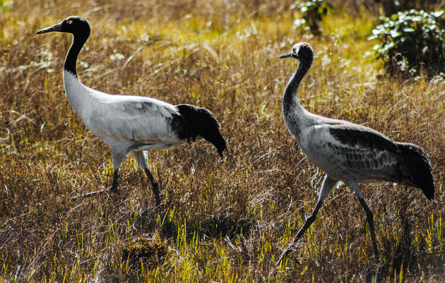 Saving the Sacred Black-Necked Cranes of Bhutan