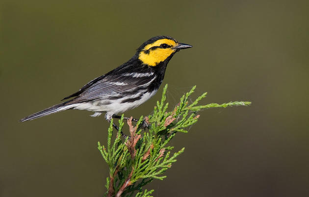 The Golden-Cheeked Warbler Remains Officially Endangered, For Now