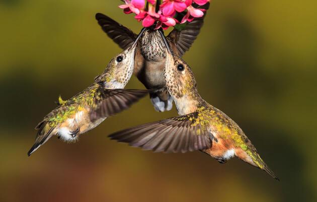 Audubon traduce al español la primera guía digital de aves norteamericanas