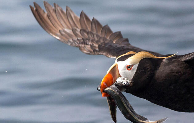 Tufted Puffin. Timothy Rucci/Audubon Photography Awards