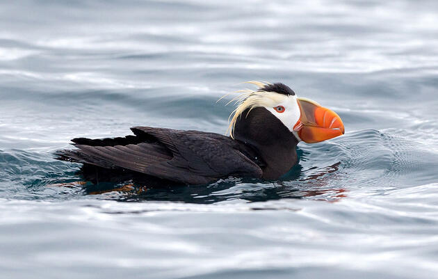 Hundreds of Tufted Puffin Deaths Suggest Dangers of Warming Seas