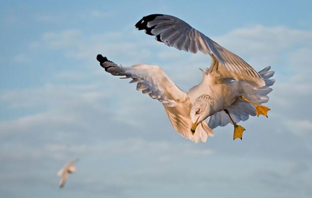 Birdist Rule #20: Identify Your First Gull