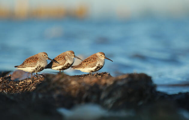 Alice Sun shares this picture of three Dunlins on Instagram  suggesting how to celebrate the Migratory Bird Day. Alice Sun