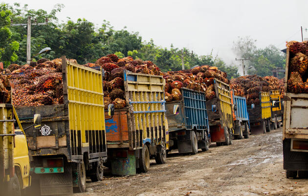 Palm nuts being harvested at an oil processing plant outside Tangkahan, Indonesia. Paul Hilton