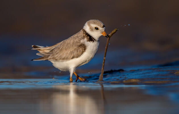 As the Climate Changes, How Will Birds Weather Heavier Rains and Snows?