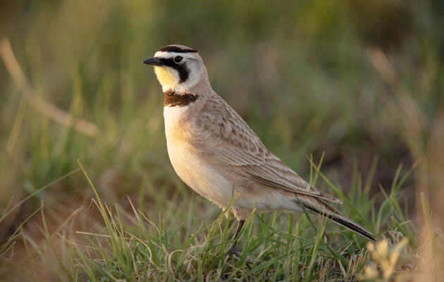 Horned Lark foraging on May Valley Ranch, an Audubon-certified ranch, in Prowers County, Colorado. Evan Barrientos/Audubon