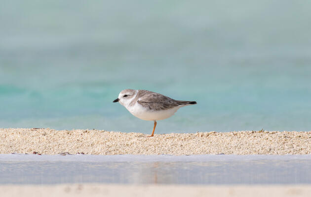 A Piping Plover in the Joulter Cays during the International Piping Plover Census this past January. Camilla Cerea/Audubon
