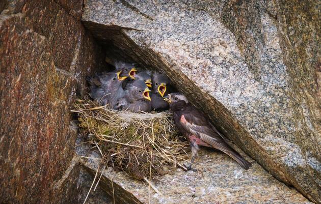 A male feeds its five demanding chicks. Ronan Donovan