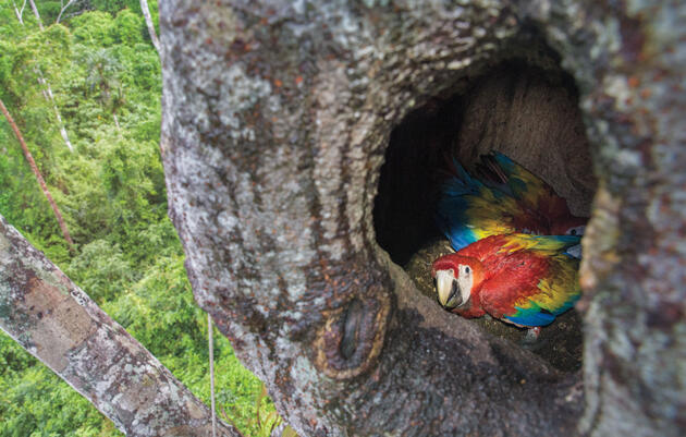 Two Scarlet Macaws chicks sit in their nest in the cavity of a quamwood tree in Belize's Chiquibul Forest. Camilla Cerea/Audubon