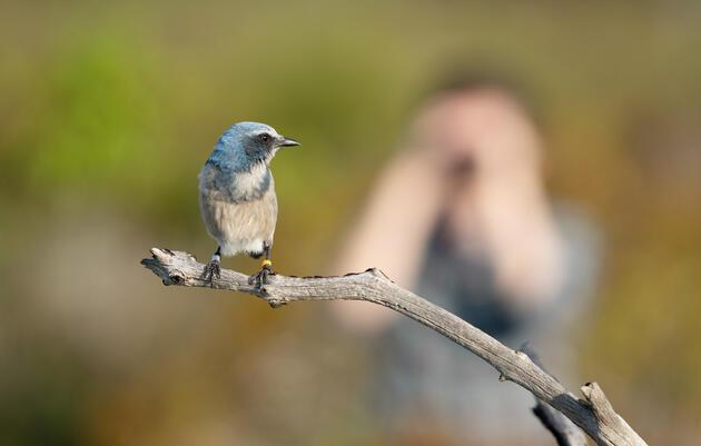 Sarah Fitzpatrick watches a Florida Scrub-Jay in Jonathan Dickinson State Park near Jupiter, Florida. Carlton Ward Jr