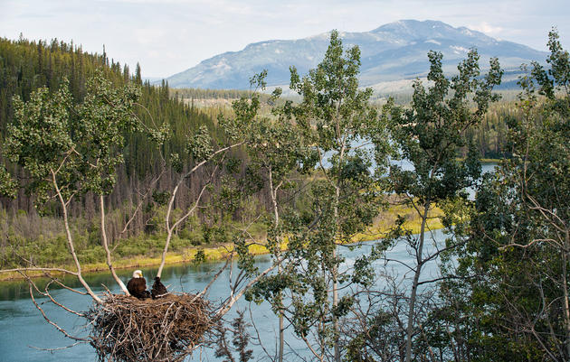 Peter Mather photographed this Bald Eagle and eaglets from a trail along the Yukon River. Peter Mather