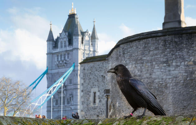 At the Tower of London, a Ravenmaster for the Digital Age