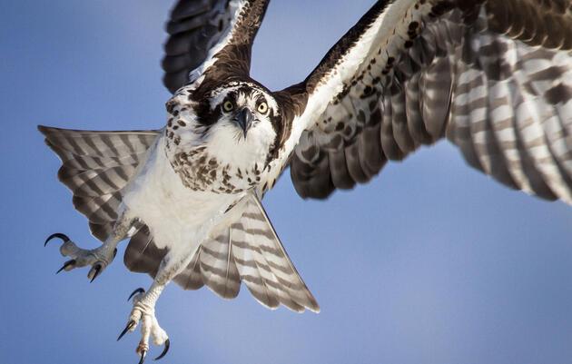 Birdist Rule #93: Understand How Different Raptors Are Built to Hunt Their Prey