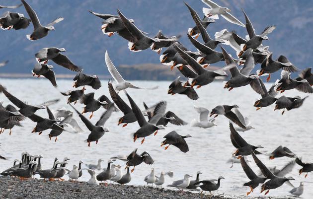 Izembek Land Transfer Paves the Way for a Road through Vital Bird Habitat