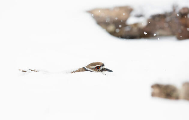 How a Photographer's Kind Heart Led to This Snowy Shot of a Killdeer