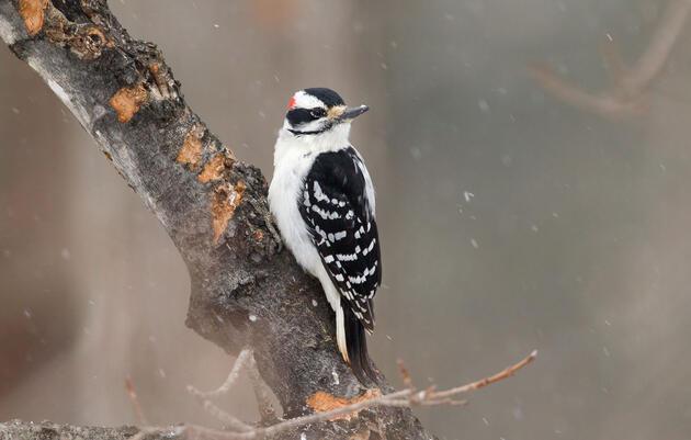 Hairy Woodpecker. Melissa Groo