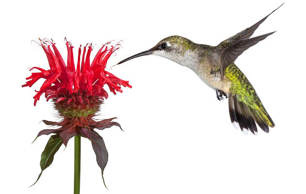 The Audubon Guide to Attracting Hummingbirds and Orioles
