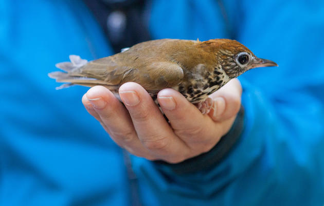 Kim Brand of Forsyth Audubon and Audubon North Carolina holds a Wood Thrush while visiting Cockscomb Basin Wildlife Sanctuary in Belize. Andrea Desky/Climate Listening Project