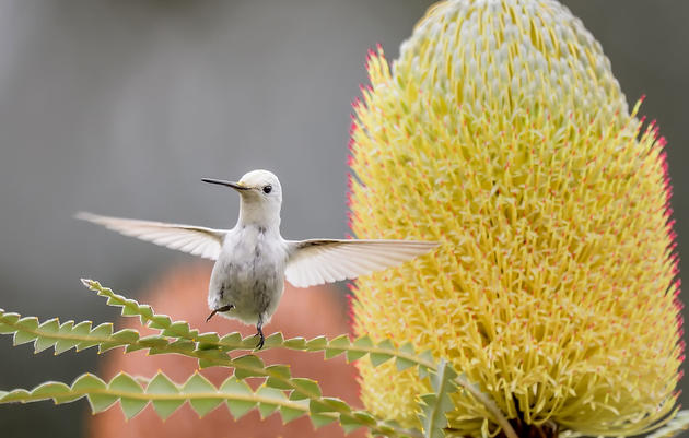 Rare White Hummingbird Steals the Spotlight at California Garden