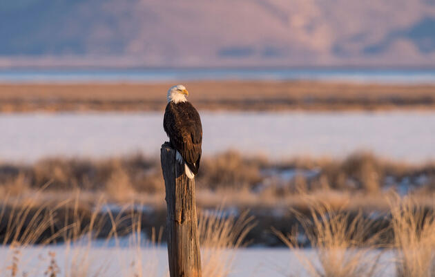 Bald Eagle, Bear River Migratory Bird Refuge, Utah Mia McPherson