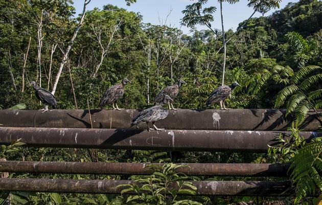 Black Vultures perch on oil pipelines near Yasuní National Park, Ecuador. Neil Ever Osborne