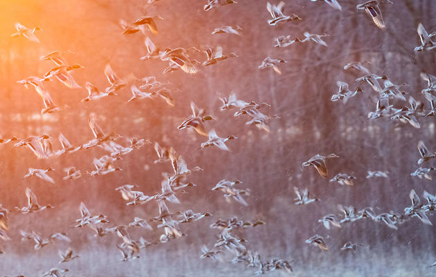 Four Quick Tips for Photographing Flocks of Ducks
