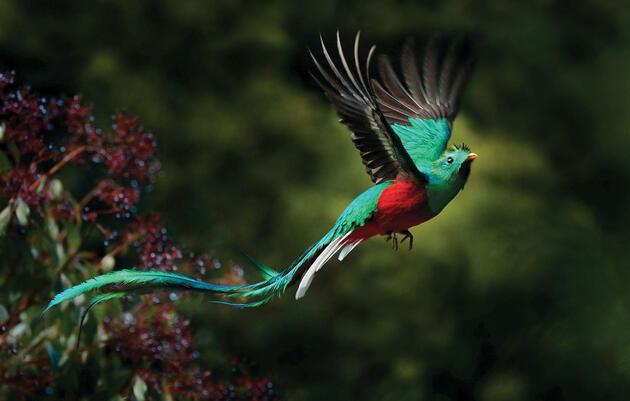 Resplendent Quetzal. Ondrejprosicky/Adobe Stock