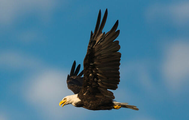 Birdist Rule #22: You Can Always Impress People by Showing Them a Bald Eagle