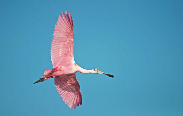 At Birding and Nature Festival Roseate Spoonbills are highlights on several trips. Nanette O'Hara