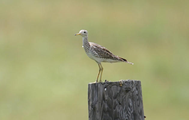 Upland Sandpiper, Blackleg Ranch, North Dakota, 17,000 acres enrolled in the Audubon Conservation Ranching Initiative. Lucy Britton/Audubon Dakota
