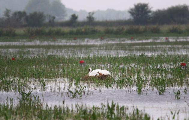 Nace en Louisiana la primera Grulla Blanca salvaje desde la Segunda Guerra Mundial