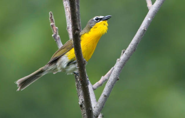 Goodbye Thayer's Gull, Hello Cassia Crossbill: This Year's Changes to the Official List of North American Birds