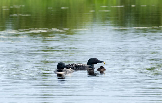 Common Loons Fe and ABJ offer a fish to their chick, the pair's 32nd together. Laura Wong