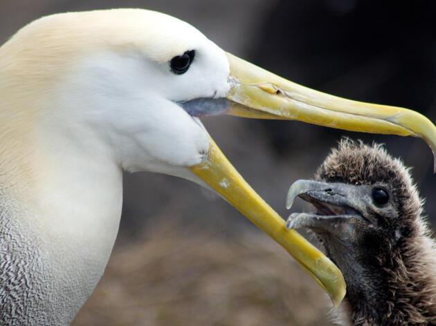 Conservación de albatros y petreles