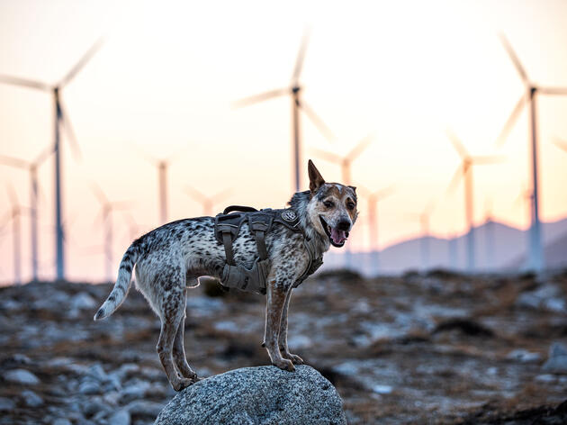 A dog with brown, white, and gray fur and wearing a harness stands on a boulder and looks at the camera, its tongue lolling out. Behind it, several wind turbines rise from a desert landscape against an orange sky, with mountains in the distance.