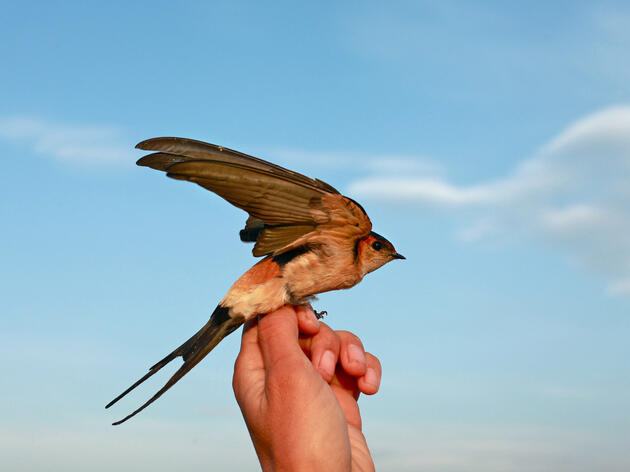 A volunteer holds aloft a red-rumped swallow,Cecropis daurica, which is scarce in this region and has arrived at Aras after a migration that may have started in the savannas of Sub-Saharan Africa. Photograph by Alexander Christie-Miller