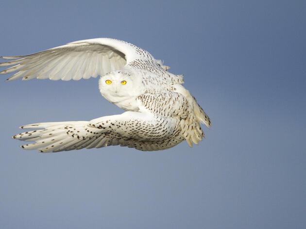 Snowy Owl_Paul Bannick