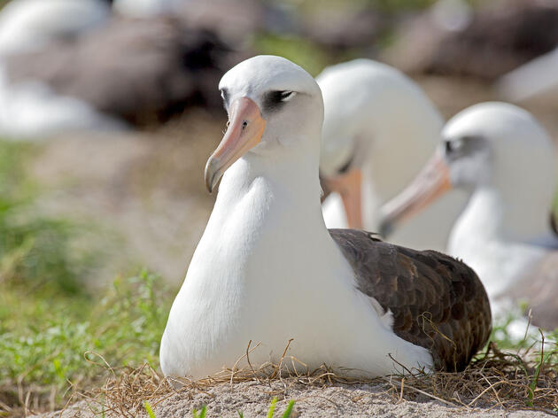Do Bird-Eating Mice Pose a Danger to Wisdom the Albatross?