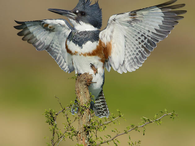 An Outstretched Belted Kingfisher