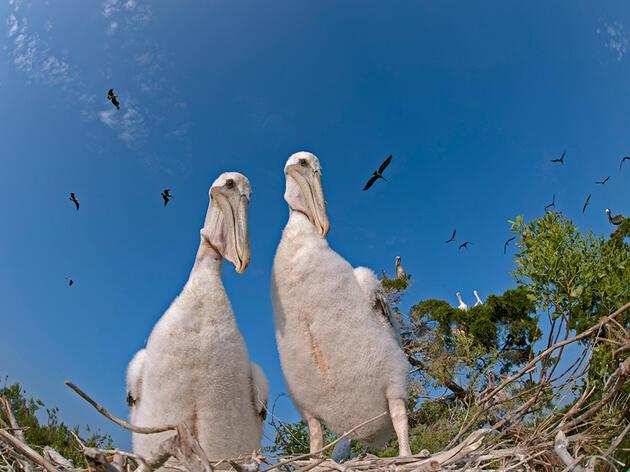 In the Brown Pelican Nest