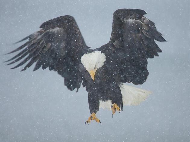 A Bald Eagle's Snowy Descent