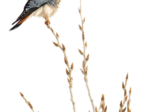 Photo of the Day: American Kestrel